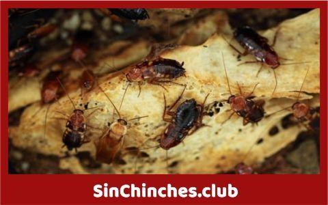 chinches o cucarachas que es peor