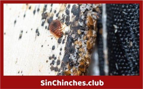 como son los huevecillos de las chinches