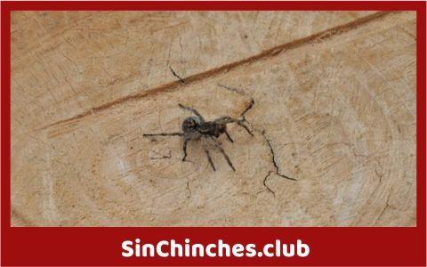 cuando pican las arañas y las chinches