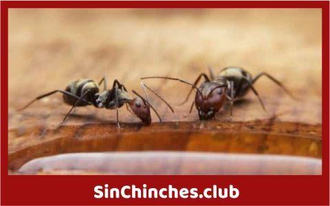 las hormigas comen insectos como las chinches de cama