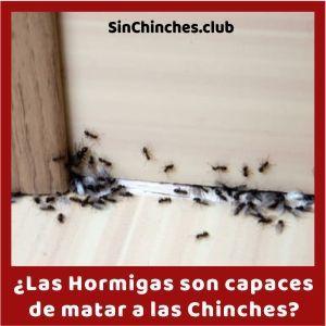 las hormigas matan a las chinches