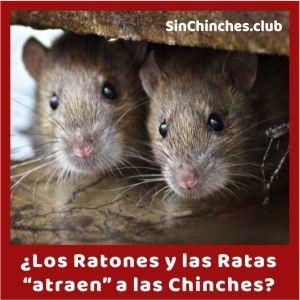los ratones y las ratas atraen chinches