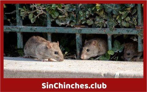 los ratones y las ratas son portadores de chinches