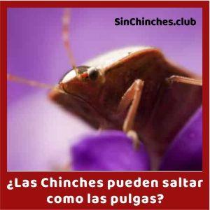 las chinches pueden saltar como las pulgas