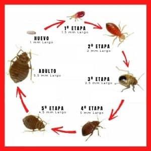 etapas ciclo de reproducción de las chinches